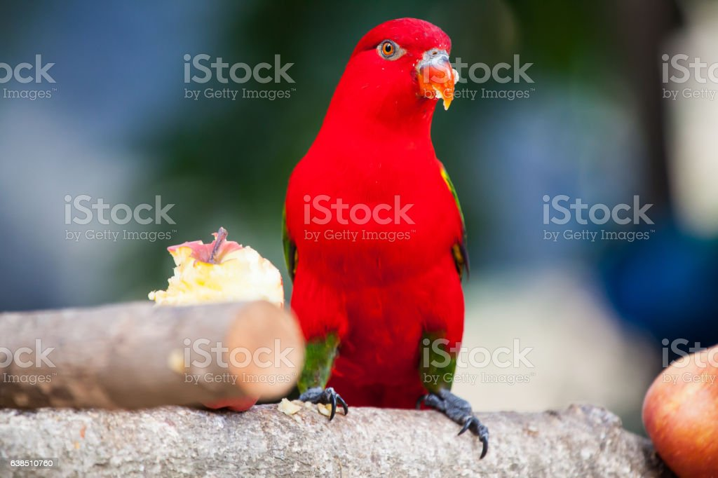 Chattering Lory, Colorful bird stock photo