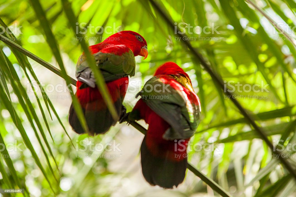 Chattering Lory stock photo