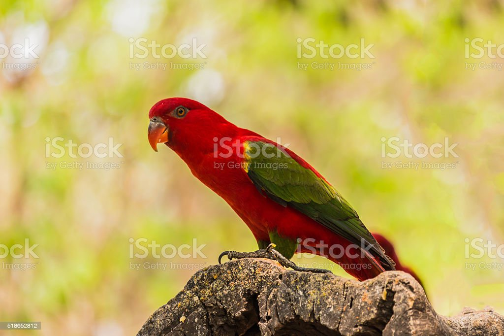 Chattering Lory resting on a twig stock photo