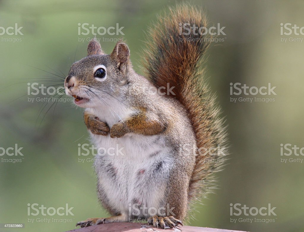 Chattering Squirrel stock photo