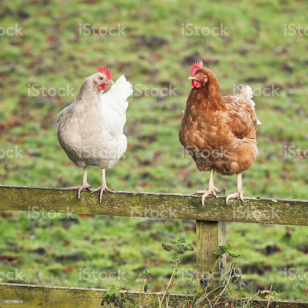 Chatting Chickens - Two Hens on a Wooden Fence stock photo