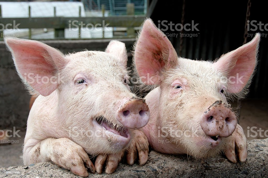 Chatting pigs royalty-free stock photo