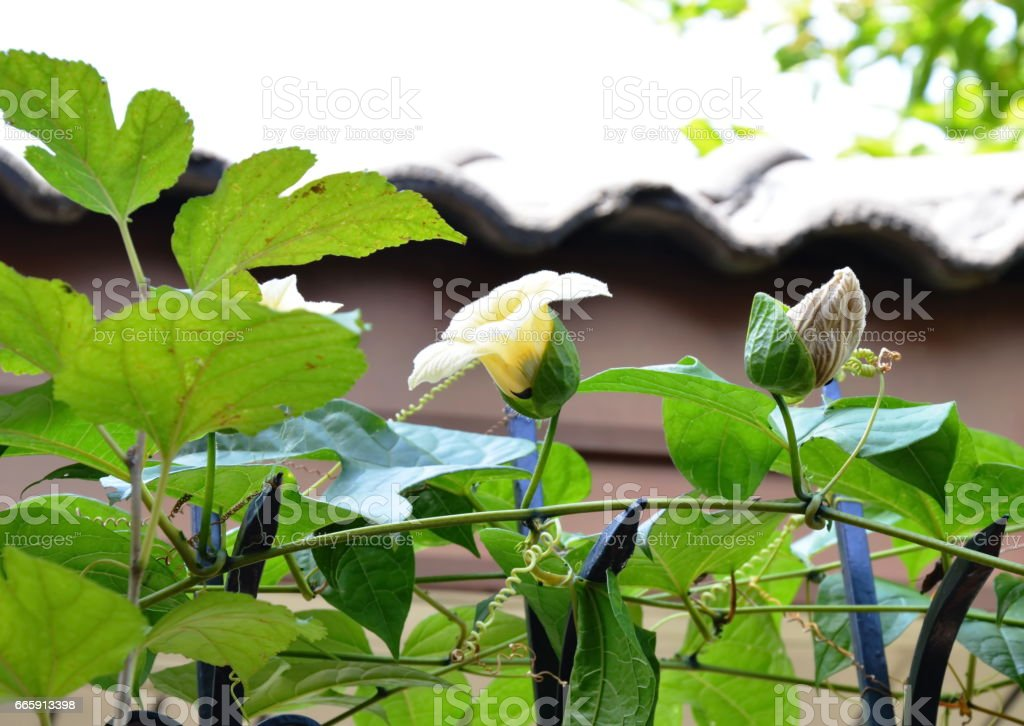 chayote flower climbing on home fence stock photo
