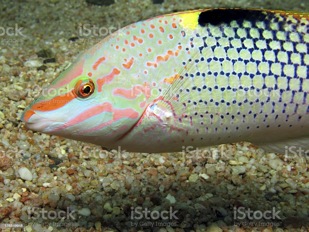 Checkerboard wrasse royalty-free stock photo