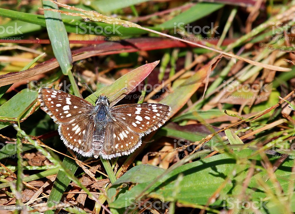 Checkered Skipper Butterfly stock photo