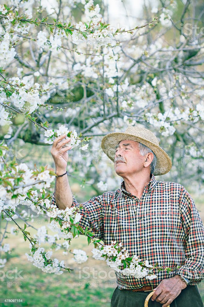 Checking cherry blossom stock photo