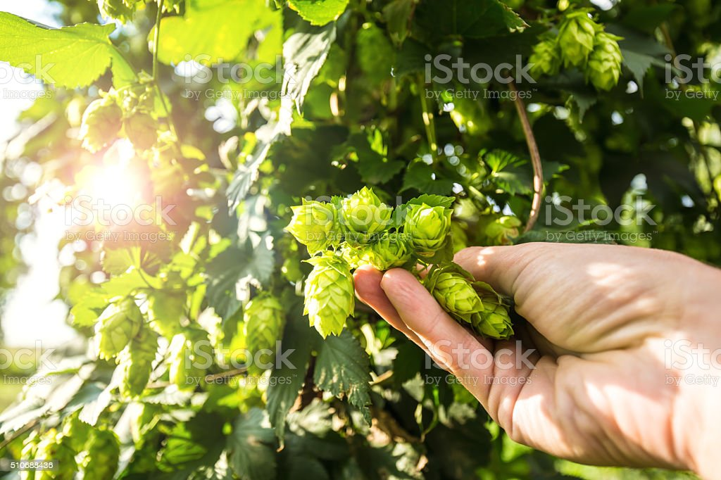 Checking Hops stock photo
