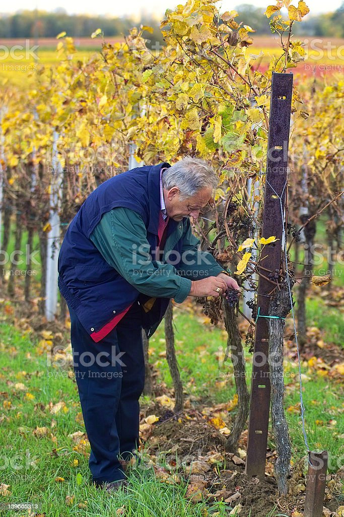Checking the grapes stock photo