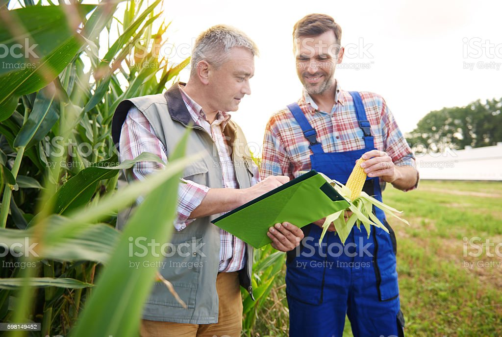 Checking the quality of corn plant stock photo