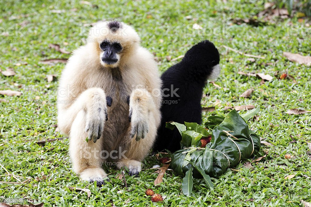 Cheeked Gibbon stock photo