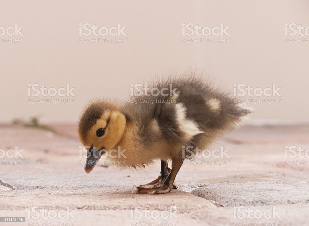 Cheeky baby duckling stock photo
