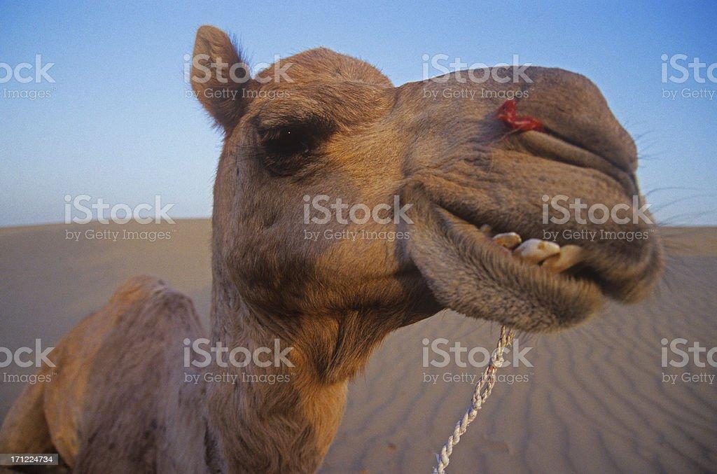 Cheeky Camel. stock photo