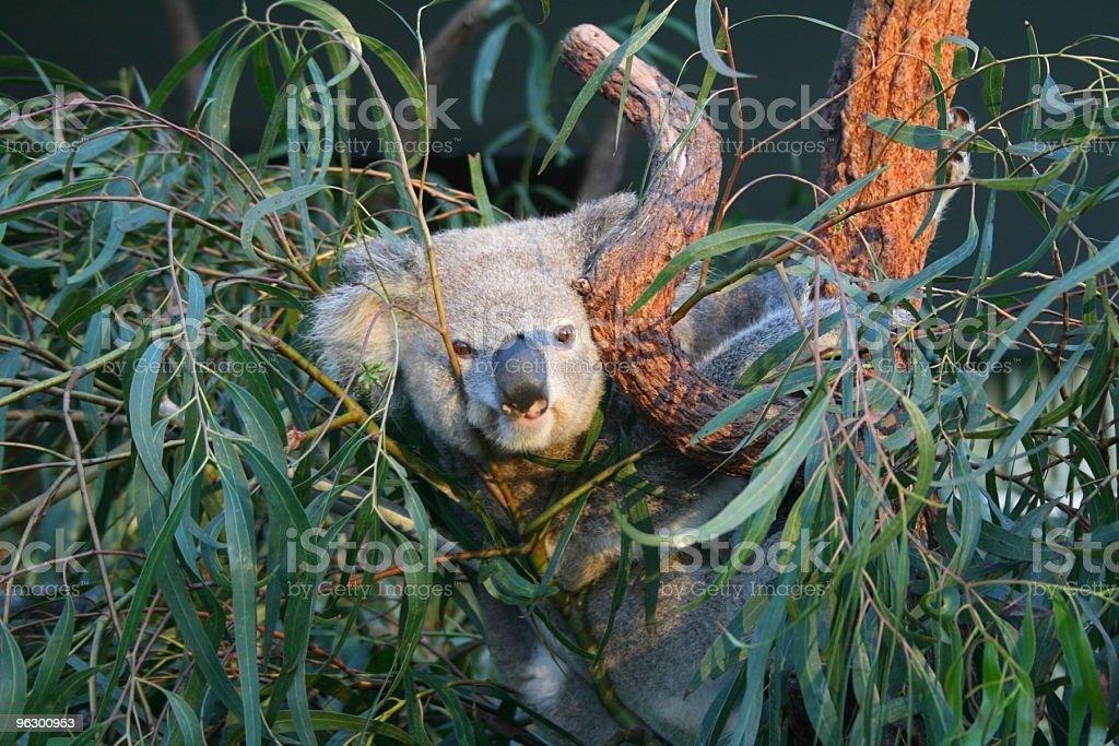 Cheeky Koala royalty-free stock photo