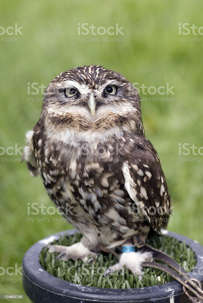 Cheeky Little Owl royalty-free stock photo
