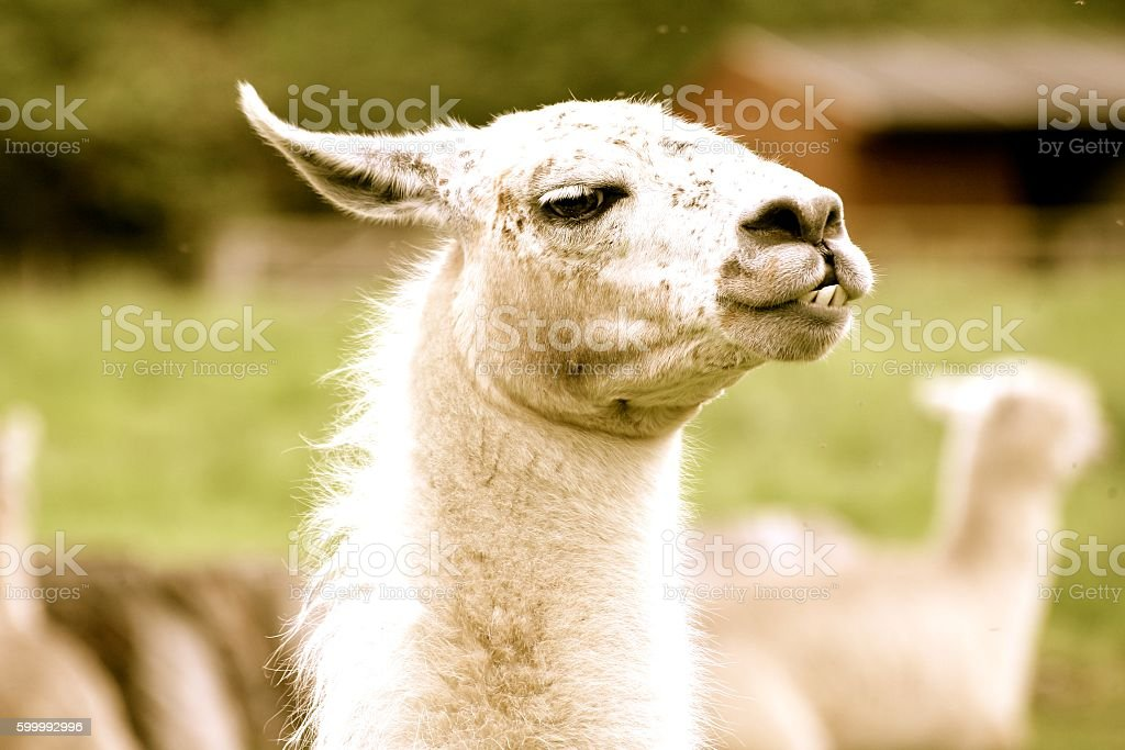 Cheeky Llama stock photo