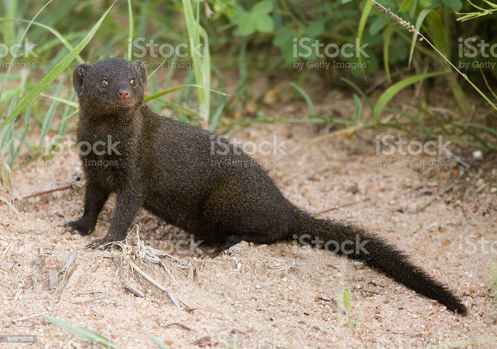 Cheeky Mongoose stock photo