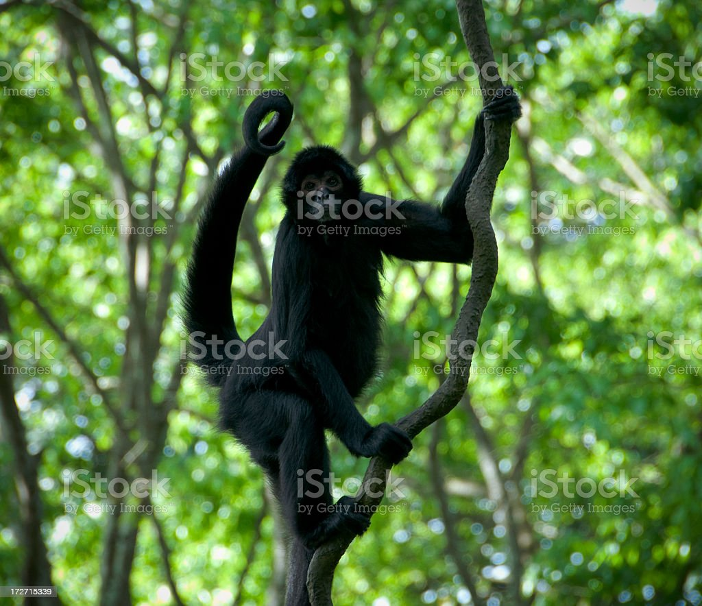 Cheeky Monkey stock photo