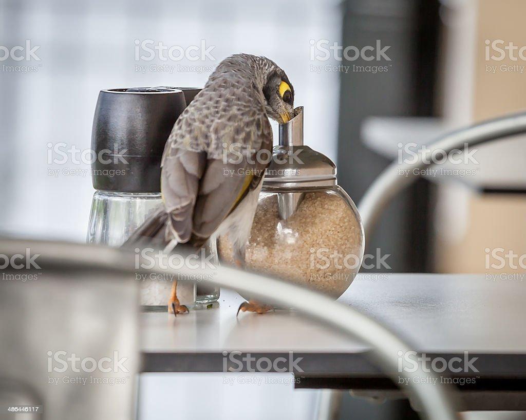 Cheeky Noisy Miner (Manorina melanocephala) Eating Sugar from Cafe Container stock photo