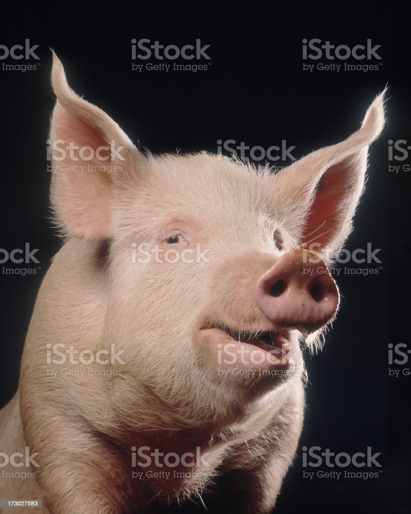 Cheeky Pig stock photo