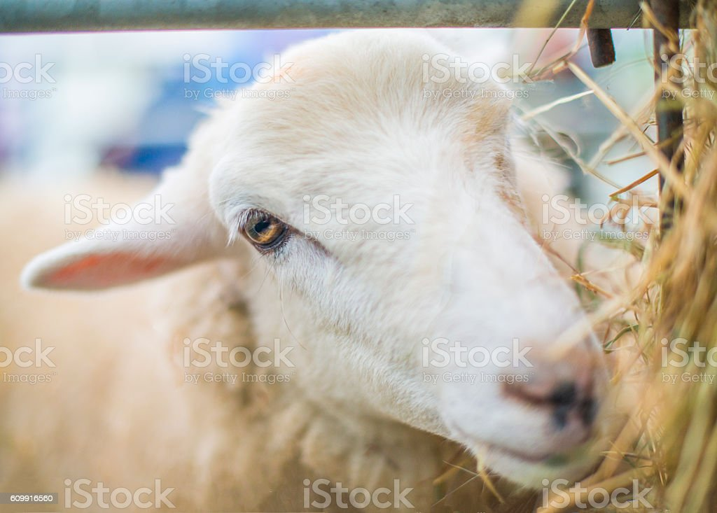 cheeky sheep stock photo
