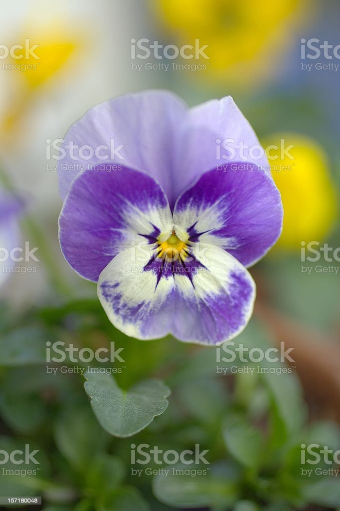 Cheeky Viola royalty-free stock photo