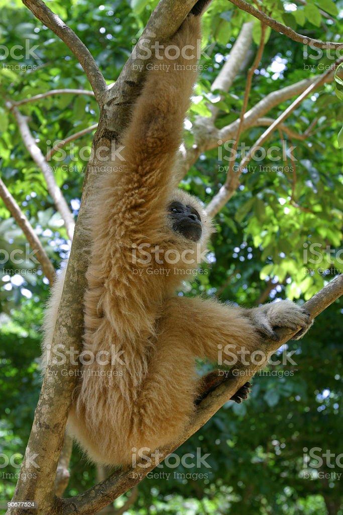 Cheeky_Monkey royalty-free stock photo