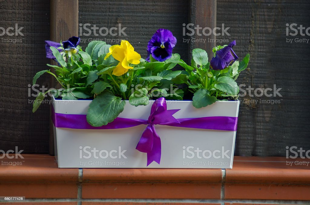 Cheerful and colorful Pansy for decoration in the garden stock photo