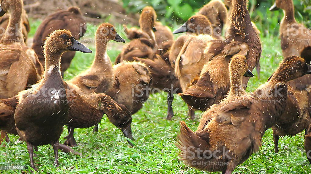Cheerful duck royalty-free stock photo