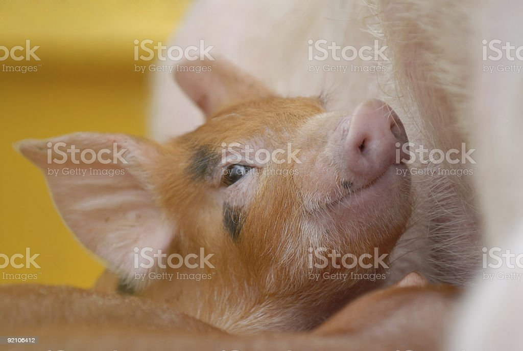 Cheerful piglet royalty-free stock photo