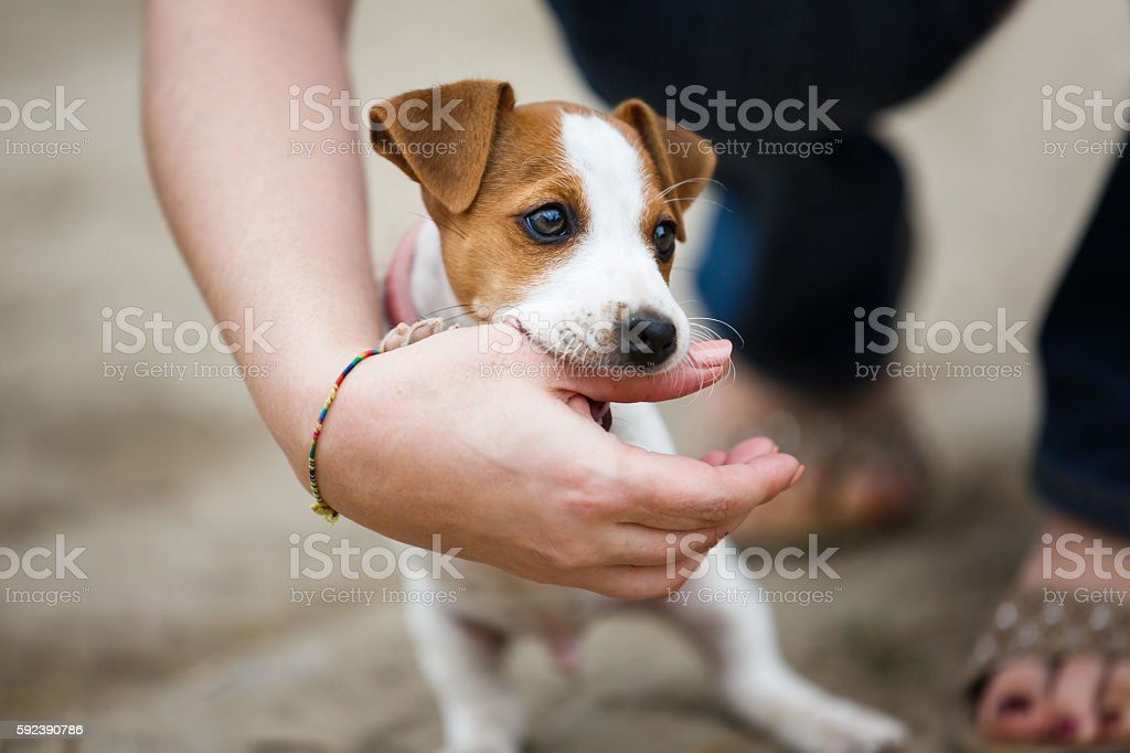 Cheerful puppy Jack Russell Terrier stock photo