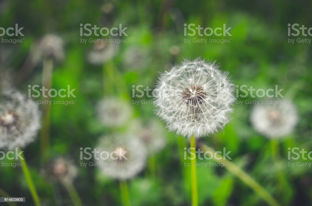 Cheerful summer meadow. Fluffy dandelions stock photo