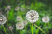 Cheerful summer meadow. Fluffy dandelions