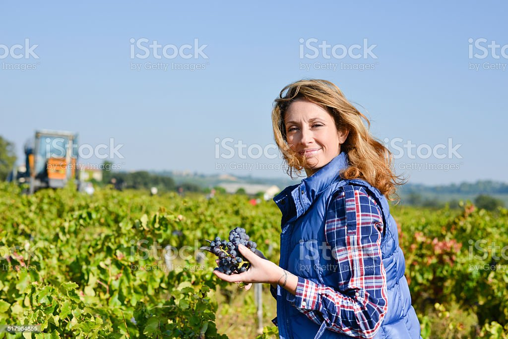 cheerful young woman harvesting grapes vineyard wine harvest season autumn stock photo
