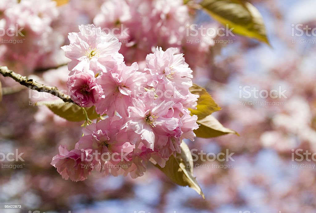Cheery Cherry Blossoms royalty-free stock photo