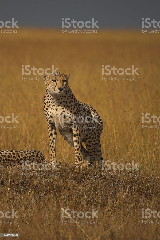 Cheeta in the Masai Mara royalty-free stock photo
