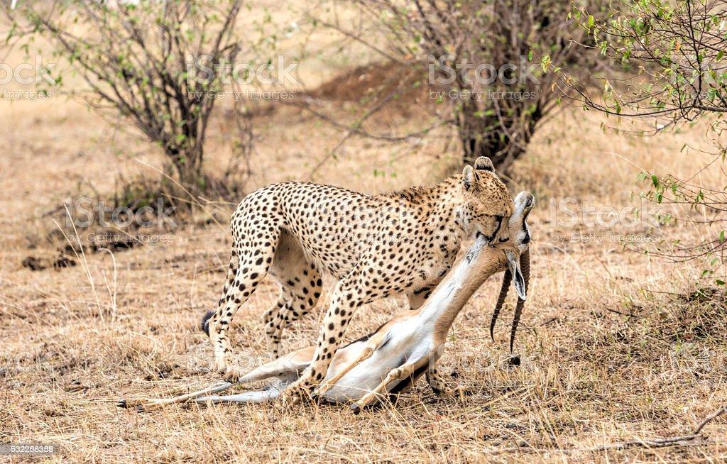 Cheeta with Thompson gazelle kill. Masai Mara, Kenya, Africa. stock photo