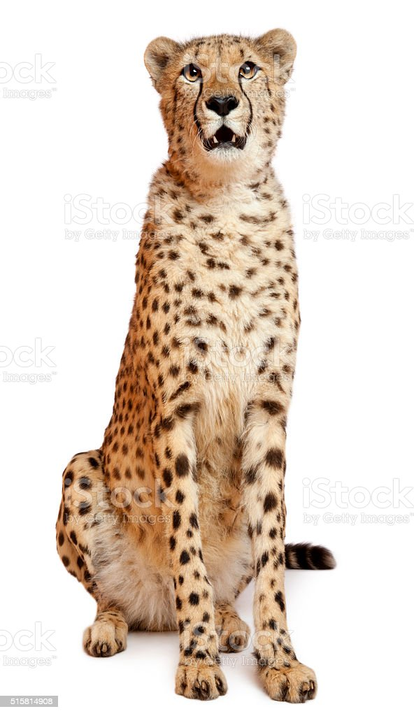 Cheetah, Acinonyx jubatus, 18 months old, sitting stock photo
