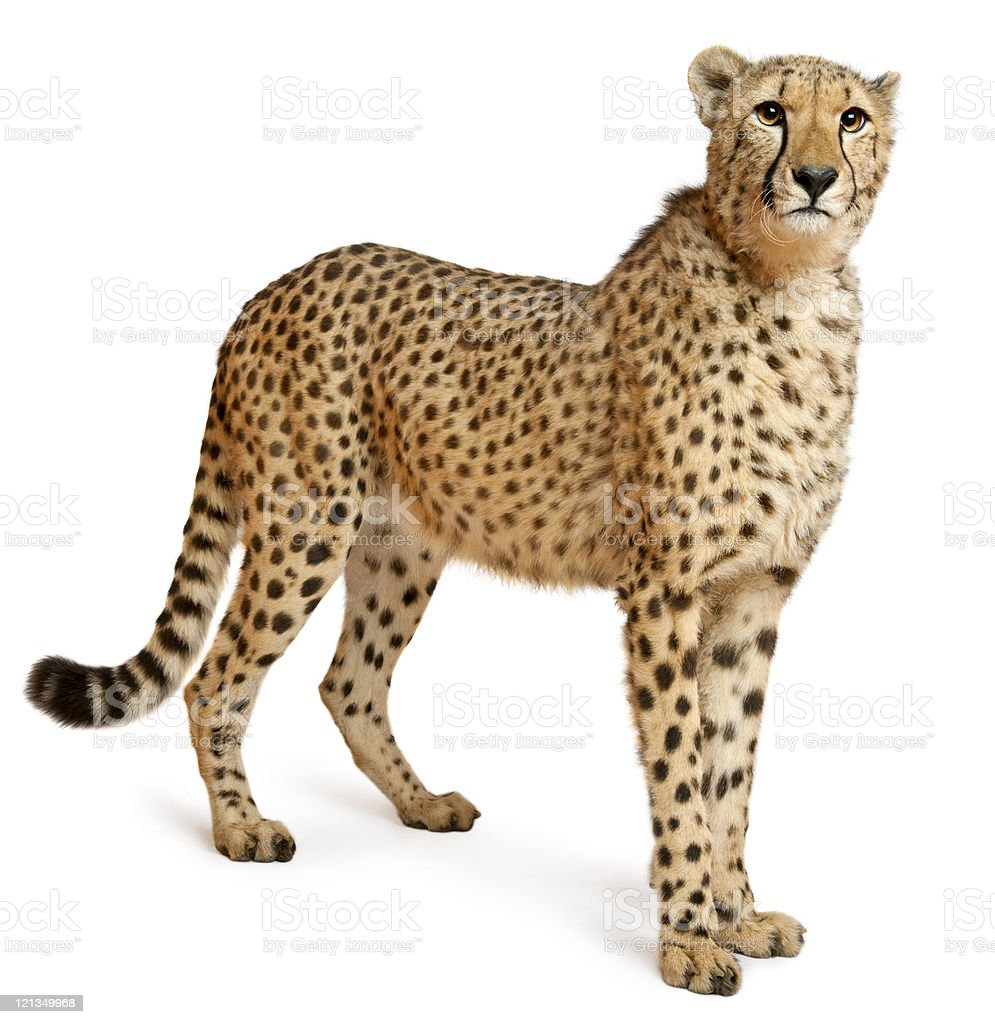 Cheetah, Acinonyx jubatus, eighteen months old, standing, white background. stock photo
