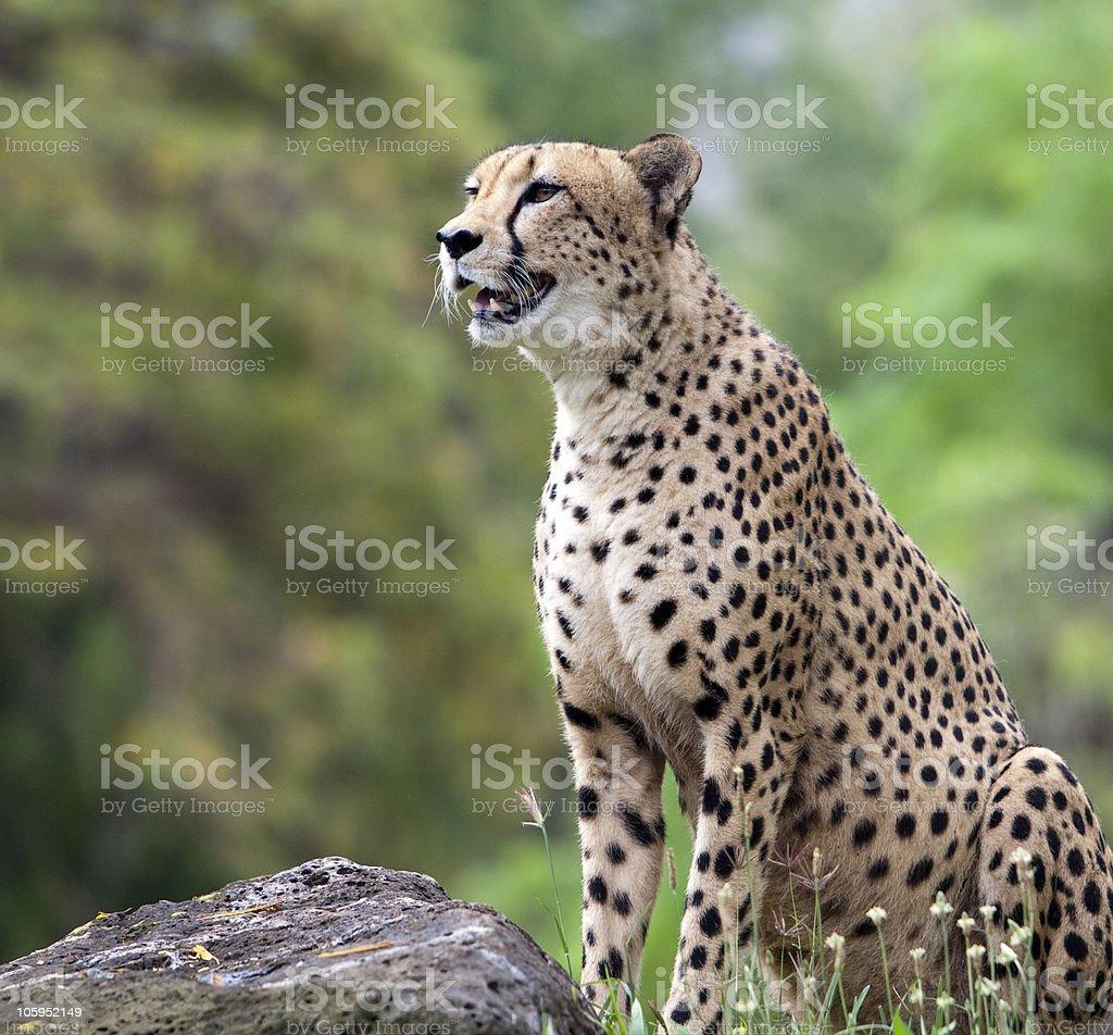 Cheetah, Acinonyx jubatus Sitting  by rock stock photo