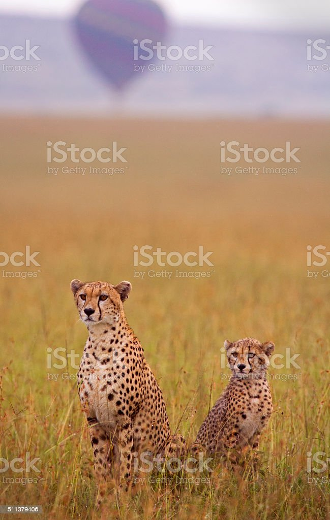 Cheetah and cub and balloon stock photo