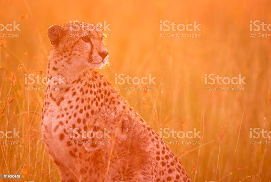Cheetah and cub at dawn stock photo