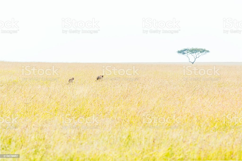 Cheetah and cub - hunting stock photo