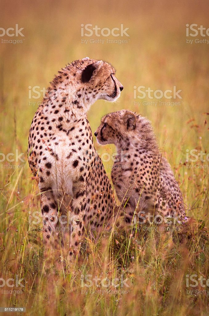Cheetah and cub stock photo