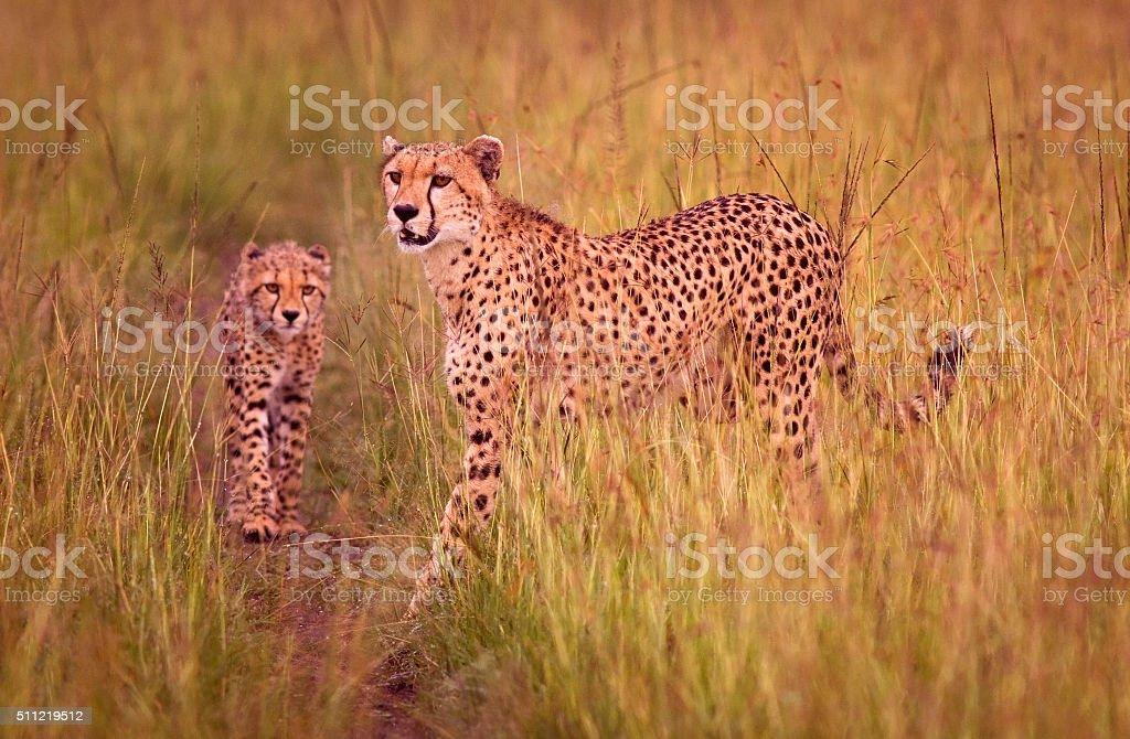 Cheetah and cub stock photo