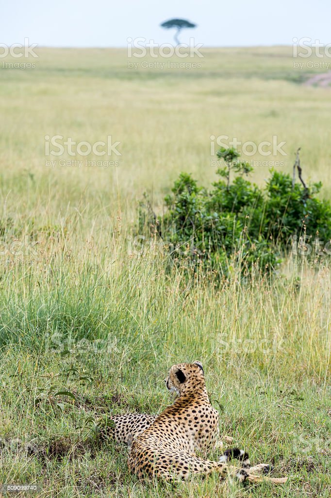 Cheetah and cub - Watching stock photo