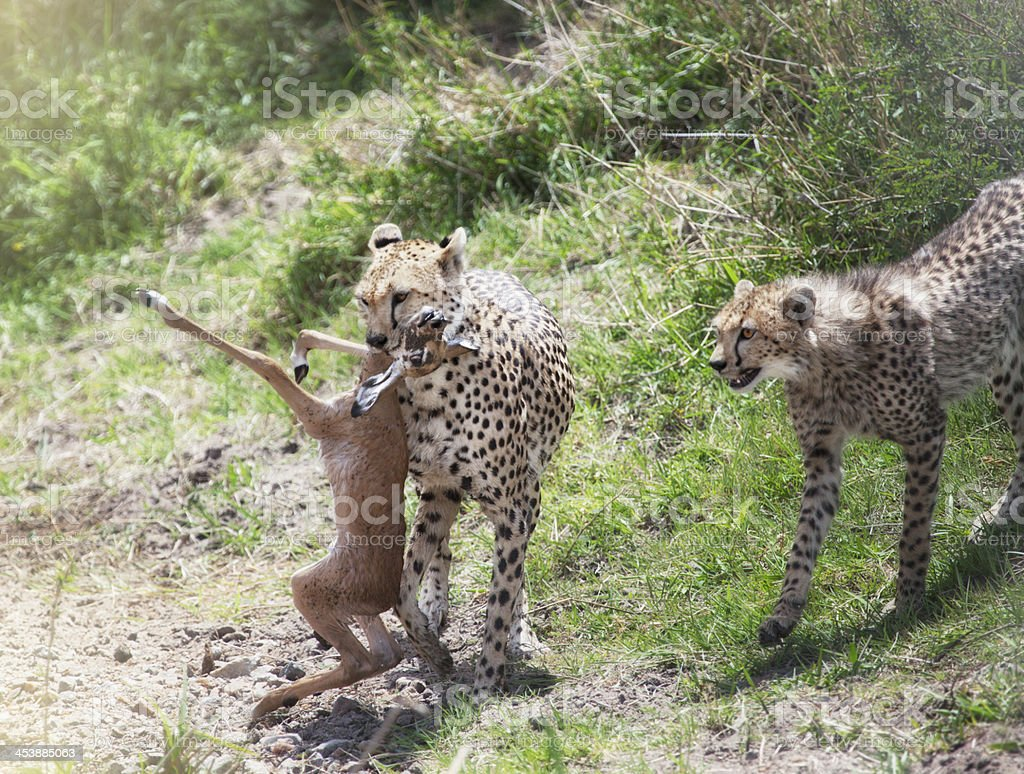 Cheetah and cub with prey royalty-free stock photo
