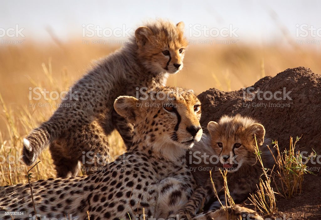 Cheetah and cubs stock photo