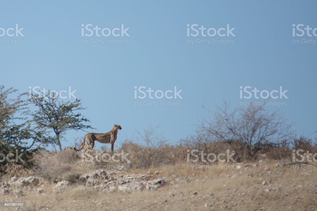 Cheetah and her cubs hunting in the Kalahari stock photo
