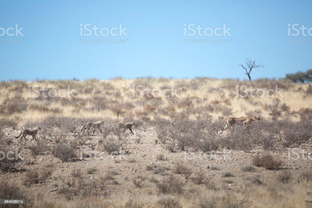 Cheetah and her cubs hunting in the Kalahari stock photo