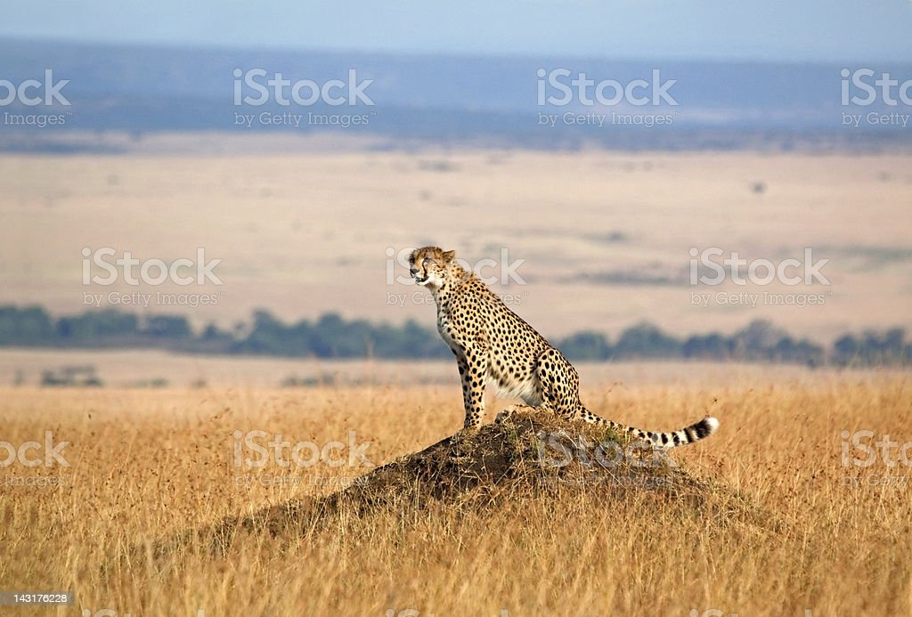 Cheetah and open landscape stock photo